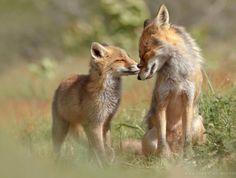 La photographe Néerlandaise Roeselien Raimond nous livre un autre regard sur les renards.