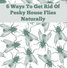 "Essential Oil Room Spray to get rid of pesky house flies naturally: ""Lavender, eucalyptus, peppermint, and lemon grass essential oils can be mixed together to create a powerful fly-be-gone spray. Spraying this mixture all over your home will keep the flies from wanting to get in."""