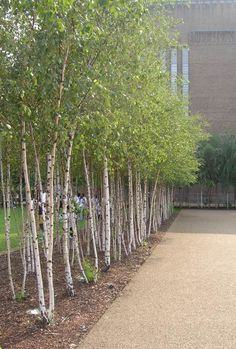 example of a mass planting of birches to highlight the white trunks. Great way to divide areas while still maintaining visibility. Modern Garden Design, Modern Patio, Landscape Design, Fruit Trees, Trees To Plant, Tree Planting, Ikebana, Tree Seeds, Ornamental Plants