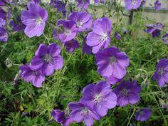 geranium 'orion'