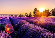 sunset over the lavender fields in the provence region in france, destinations to visit in europe Growing Lavender, France Photos, Lavender Fields, Lavender Tea, Provence Lavender, French Lavender, Antibes, Spring Blooms, Design Thinking