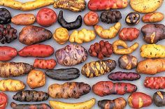 wake up U.S.  Peru bans genetically modified ingredients for 10 years. Here are some of its potatoes. Peru and Bolivia have more verities of potatoes than any other country in the world.