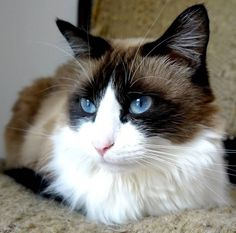 Cat - Ragdoll - Ziva on www.yummypets.com cat, cute, kittens, kitties, cute, animals, pussy cats,  pets, animals, Yummypets