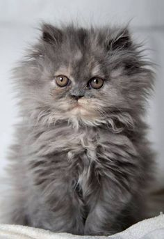 Wow! It's a fluffy, puffy! A sweet little furry Persian. Needs a Mommy Bath for the fur to look proper.