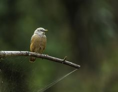 Bliths starling!