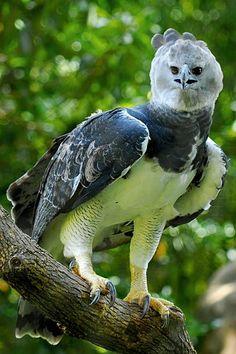 Pretty Birds, Beautiful Birds, Animals Beautiful, Nature Animals, Animals And Pets, Cute Animals, Harpy Eagle, Bald Eagle, Exotic Birds