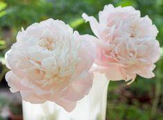 Paeonia Lactiflora 'Mother's Choice', Peony 'Mother's Choice', 'Mother's Choice' Peony, White flowers, White Peonies, Fragrant Peonies