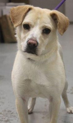 NAME: Ribbon  ANIMAL ID: 34776953 BREED: Retriever mix  SEX: female (spayed)  EST. AGE: 2 yr  Est Weight: 36 lbs  Health: Heartworm neg  Temperament: dog friendly, people friendly  ADDITIONAL INFO: RESCUE PULL FEE: $35  Intake date: 3/3  Available: Now