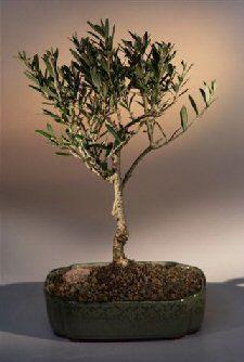 Bonsai Boy's Olive Bonsai Tree olea europaea little ollie Bonsai Boy http://www.amazon.com/dp/B00N93QZOU/ref=cm_sw_r_pi_dp_e.PYub0P44M8S