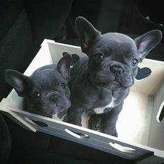 いいね!15.7千件、コメント283件 ― D A I L Y  F R E N C H I Eさん(@daily_frenchie)のInstagramアカウント: 「💜 J A Y S  F R E N C H I E S 💜 Feature of @bluefrenchies 🐾 . #frenchbulldog #frenchbulldogpuppies…」