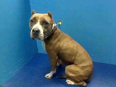 SAFE 05/05/13 Brooklyn Center - CHRISTINE A0962962. Female tan and white pit bull mix about 3 YRS old.Found wandering w/ some sort of ID, no one ever came for her.  She was friendly, allowed all handling and was found to be in overall good health. But being healthy or being good won't buy her more time and Christine's on tomorrow morning's euthanasia list. SHARE NOW https://www.facebook.com/photo.php?fbid=600684833277733=a.275017085844511.78596.152876678058553=3