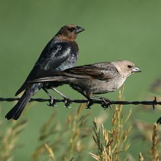 brown headed cowbird and songbird relationship quiz