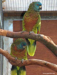A Pair of Saint Lucia Amazons (Amazona versicolor).