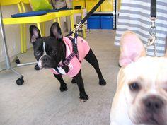 Ms. Momo, French Bulldog ❤