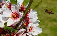 Srinagar: A honey bee flies near almond flowers, in full bloom at Badamwari (Alm...