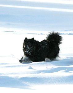 "Finnish Lapphund ""Molly,"" Can Ch Sugarok Good Golly RN, CGN, HIC in Banff. Photo by Nicole Prokopishyn (Bearspaw Finnish Lapphunds). Banff, Husky, Cute Animals, Dogs, Pretty Animals, Cutest Animals, Pet Dogs, Cute Funny Animals, Doggies"