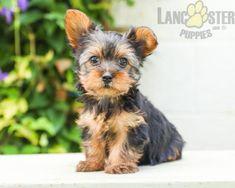#YorkshireTerrier #Charming #PinterestPuppies #PuppiesOfPinterest #Puppy #Puppies #Pups #Pup #Funloving #Sweet #PuppyLove #Cute #Cuddly #Adorable #ForTheLoveOfADog #MansBestFriend #Animals #Dog #Pet #Pets #ChildrenFriendly #PuppyandChildren #ChildandPuppy #LancasterPuppies www.LancasterPuppies.com Puppies For Sale, Dogs And Puppies, Lancaster Puppies, Yorkshire Terrier Puppies, Animals Dog, Mans Best Friend, Yorkie, Puppy Love, Pets