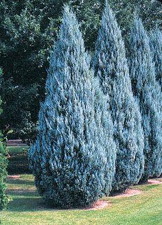 A narrow, symmetrical upright juniper. Intense silvery-blue foliage is very tight. Beautiful landscape plant.