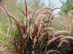 Purple fountain grass is an ornamental that forms a mound of colorful plumes in summer and fall. Learn how to grow this elegant, textural plant. Perennial Grasses, Full Sun Perennials, Herbaceous Perennials, Hardy Perennials, Flowers Perennials, Ornamental Grasses, Tall Grasses, Pennisetum Setaceum, Stipa