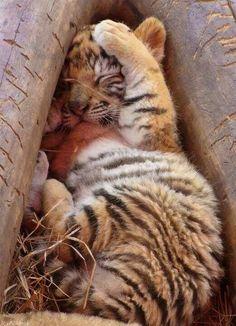 Parfois je me sens comme un jeune tigre : je peux etre maladroite et faire mal, mais au fond je veux juste de l'attention