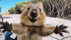 Het internet is in de ban van een foto van deze quokka. Het schattige buideldiertje lijkt immers enthousiast op de camera van toerist Campbell Jone...