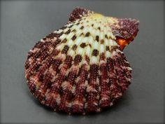Pecten Gloriapallium pallium, Philippines, 43,7 mm