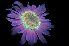 """California-based photographer Craig Burrows creates awe-inspiring images by exploring alternative-light photography. """"I have special interest in photographing infrared, ultraviolet, and ultraviolet-induced visible fluorescence."""" More photography… Uv Photography, Creative Photography, Galaxy Flowers, Glowing Flowers, Uv Tattoo, Used Cameras, Colossal Art, Flower Lights, Grid Design"""
