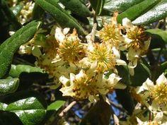 Peumus boldus   Trees   Patagonia Plants
