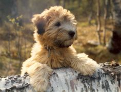 irish softcoated wheaten terrier valp