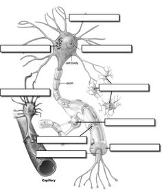 seriously think ms. Farsii made us label this exact nerve picture. Science Biology, Teaching Biology, Life Science, Computer Science, Brain Anatomy, Human Anatomy And Physiology, Brain Nervous System, Nervous System Anatomy, Apologia Anatomy