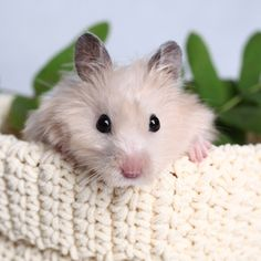 Hamsters are funny, lively, active, clean and really easy to care for! The main thing to remember is that your hamster needs enough space to play, sleep and feed. Baby Hamster, Hamster Care, Animals And Pets, Baby Animals, Cute Animals, What Is Cute, Syrian Hamster, Pocket Pet, Cute Hamsters