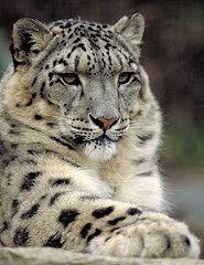 snow leopard :)