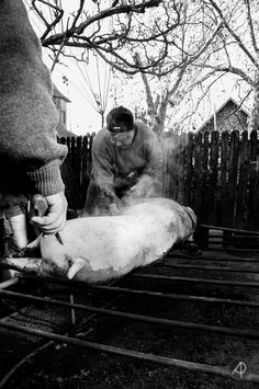 The Last Pig Of Them All – Ignatius In Romania | Bored Panda