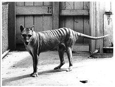 Benjamin - 1936 - thylacine Photo