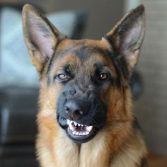 "12.2k Likes, 440 Comments - German Shepherds Of Instagram (@gsdsofigworld) on Instagram: ""The look I gave my humans when they said no more treats!     Featured Account @troygsd…"""