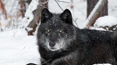 Wildlife officials in Washington state plan to eliminate an entire pack of endangered gray wolves after the animals began attacking livestock in the area.  We need to stop this planned killing of 11 of only 90 grey wolves for only doing what wolves do. The resources could instead be used to help the...