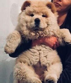 Photo dogs and puppies chow chow Ideas Perform you're keen on the dog? - Dogs and Puppies -Great Photo dogs and puppies chow chow Ideas Perform you're keen on the dog? - Dogs and Puppies - Cute Puppies, Cute Dogs, Dogs And Puppies, Doggies, Cute Fluffy Dogs, Fluffy Puppies, Fluffy Animals, Animals And Pets, Perros Chow Chow