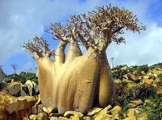 Ejderin Kanı Ormanı, Sokotra Adası..