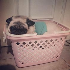 Let me Zzzzz in my new bed. #Cheeze #pug