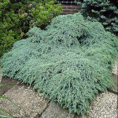 Juniperus squamata Blue Carpet - 1 tree Buy online order yours now Yellow Carpet, Dark Carpet, Carpet Colors, Juniperus Squamata, Landscape Design, Garden Design, Sun Plants, Garden Plants, Pot Plante