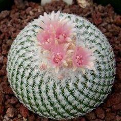 Button Cactus