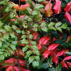Mahonia japonica  AGM