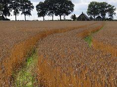 Graanveld op de zuides van Noordlaren, The Netherlands