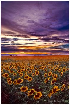 Such a deeply gorgeous sky and field of cheerful sunflowers! #sunset #sunflowers #sky