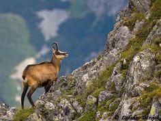Slovakia, High Tatras - Tatra chamois – a unique sub-species of goat-antelope Bratislava, Tatra Mountains, Carpathian Mountains, European Integration, High Tatras, Alpine Adventure, Central And Eastern Europe, Heart Of Europe, Animals Of The World