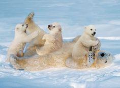 lední medvědi - Hledat Googlem