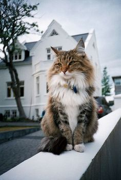 Maine Coon http://www.mainecoonguide.com/how-to-keep-a-maine-coon-growth-chart/
