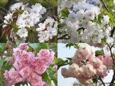 左上は駿河台匂、近づくと桜餅のような良い香りがします。右上は琴平、左下が妹背、右下が松月です。松月のピンクのグラデーションがとても好きです。