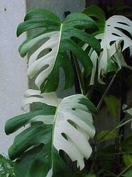 ++ Variegated split leaf philodendron Monstera ++ This split foliage is splashed with clear white. These plants are stunning if grown in high humidity conditions. These make very dramatic indoor plants in corners or near fountains. A typical tropical setting is Monsteras best. Mist!