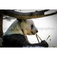 Panda Photo Fine Art Photography Animal Photography San Diego Zoo... (185 MXN) ❤ liked on Polyvore featuring photography